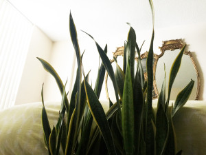 Snake-Plant-at-Bed